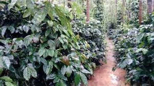 Coffee Plantations, Chikmagalur City Darshan Cab.cabsrental.in